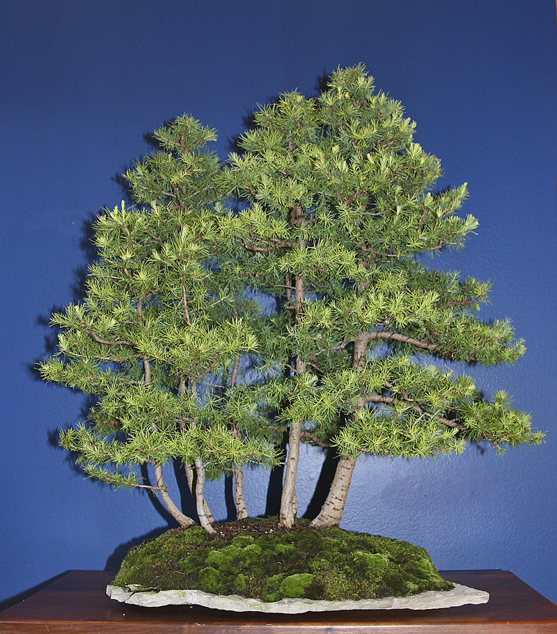 Larch Forest Valavanis Bonsai Blog