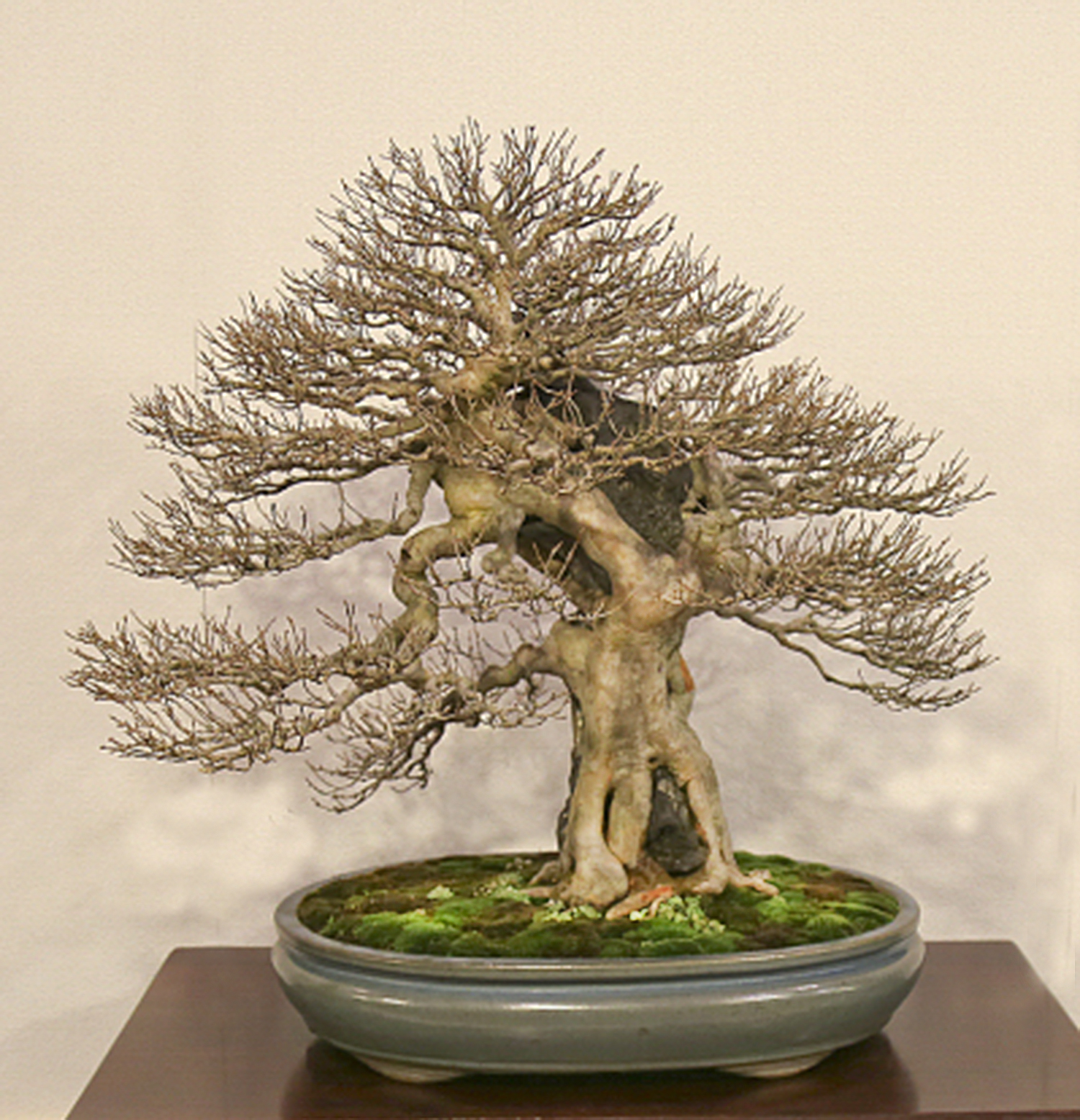 Trident Maple Root Over Rock Style Bonsai Valavanis Bonsai Blog