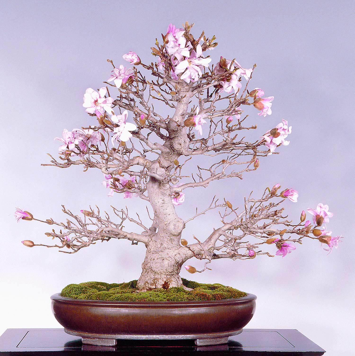 Magnolia Bonsai Valavanis Bonsai Blog
